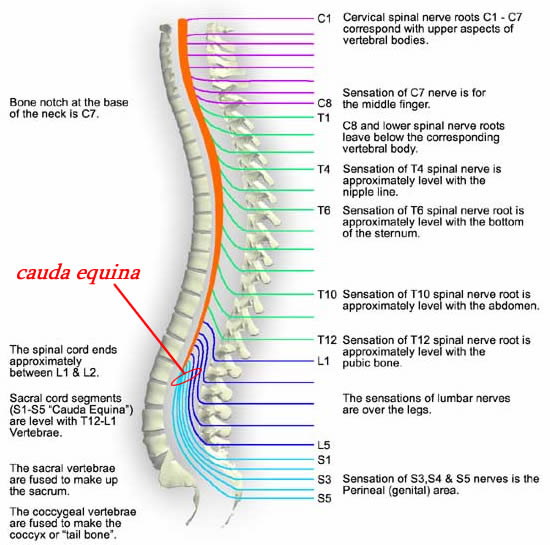 the spinal cord and spinal nerves, Human Body
