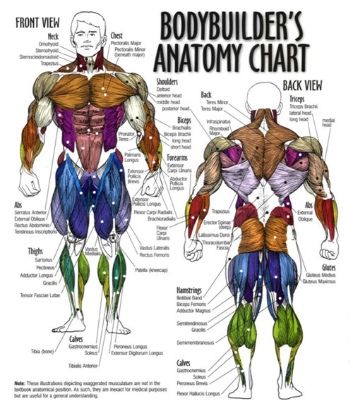body builder's muscle chart, Cephalic Vein