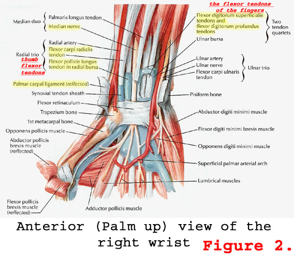 Anatomy Of The Hand Tenderness