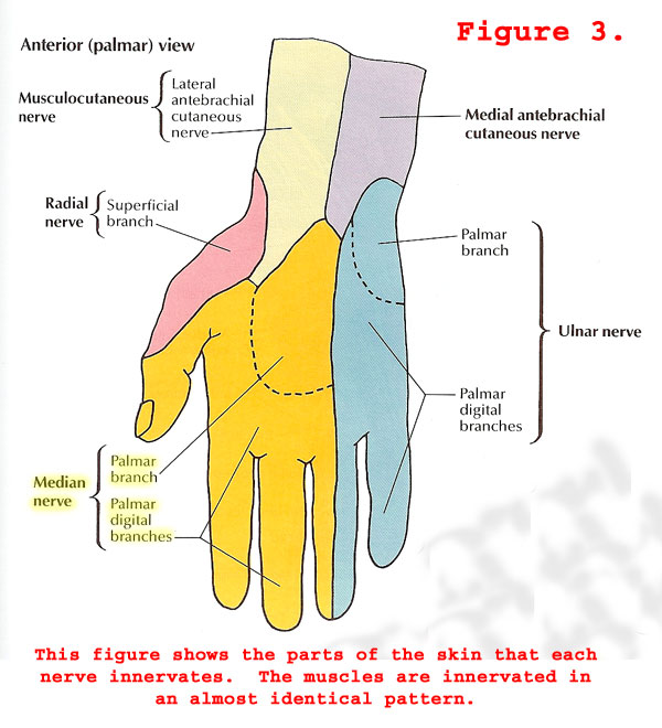 Figure 3. Nerves of the Hand
